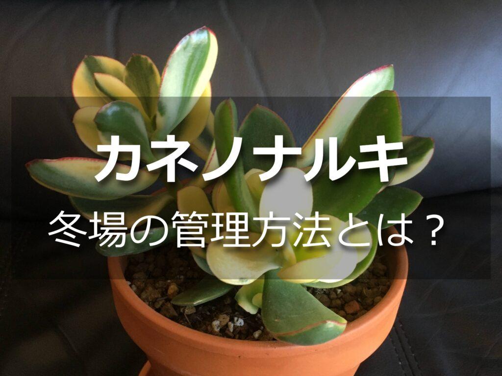 カネノナルキ(黄金花月)