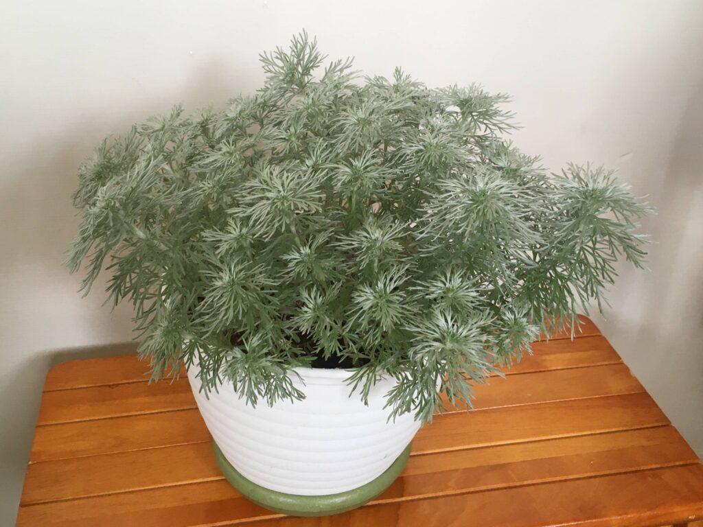 生い茂ったアサギリソウ