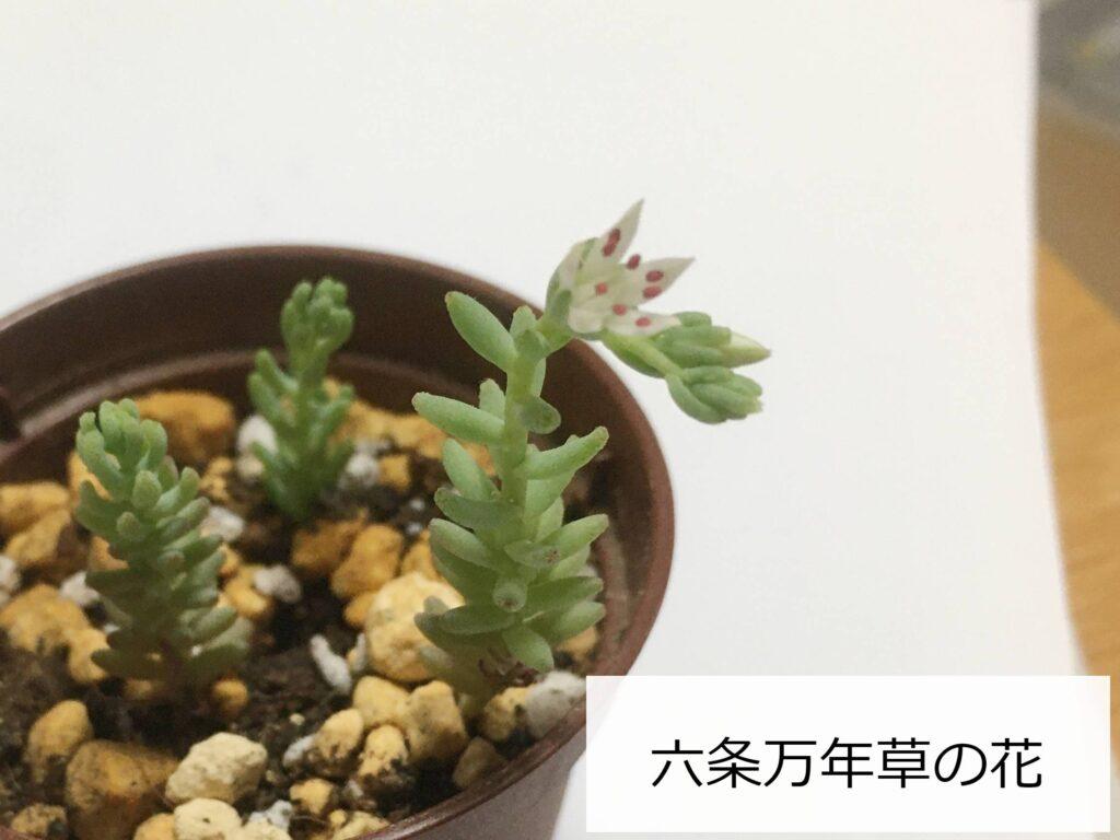 六条マンネングサの花